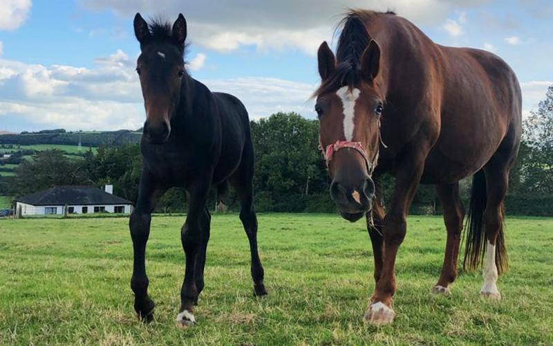 Rua & her RID filly foal Bel-Air Equestrian Centre Ireland