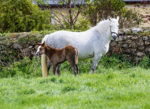This foal will grow up to be a handsome Irish sport horse at Bel-Air Equestrian Centre